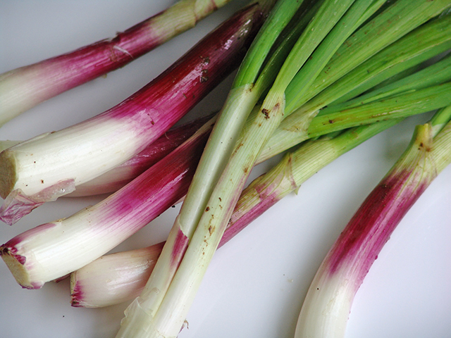 ROSE-SCALLION